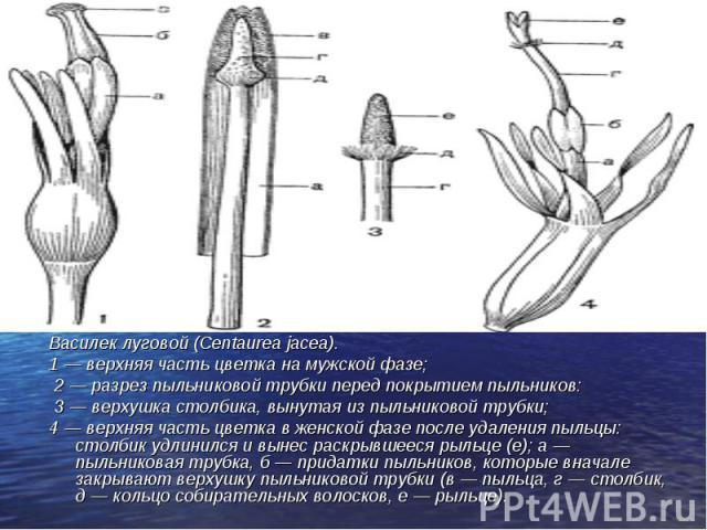 Василек луговой (Centaurea jacea). Василек луговой (Centaurea jacea). 1 — верхняя часть цветка на мужской фазе; 2 — разрез пыльниковой трубки перед покрытием пыльников: 3 — верхушка столбика, вынутая из пыльниковой трубки; 4 — верхняя часть цветка в…