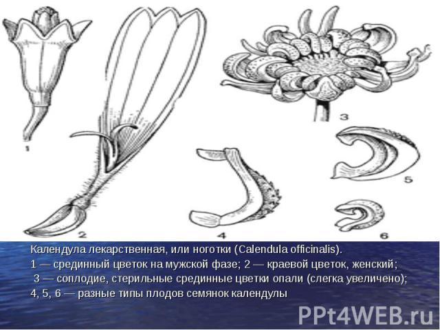 Календула лекарственная, или ноготки (Calendula officinalis). Календула лекарственная, или ноготки (Calendula officinalis). 1 — срединный цветок на мужской фазе; 2 — краевой цветок, женский; 3 — соплодие, стерильные срединные цветки опали (слегка ув…