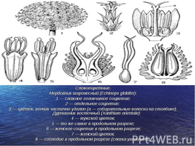 Сложноцветные. Сложноцветные. Мордовник шароносный (Echinops globifer): 1 — сложное головчатое соцветие; 2 — отдельное соцветие; 3 — цветок, венчик частично удален (а — собирательные волоски на столбике). Дурнишник восточный (Xanthium orientale): 4 …