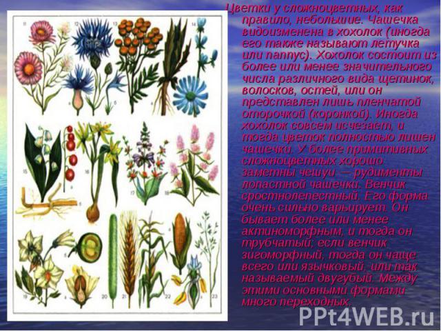 Цветки у сложноцветных, как правило, небольшие. Чашечка видоизменена в хохолок (иногда его также называют летучка или паппус). Хохолок состоит из более или менее значительного числа различного вида щетинок, волосков, остей, или он представлен лишь п…