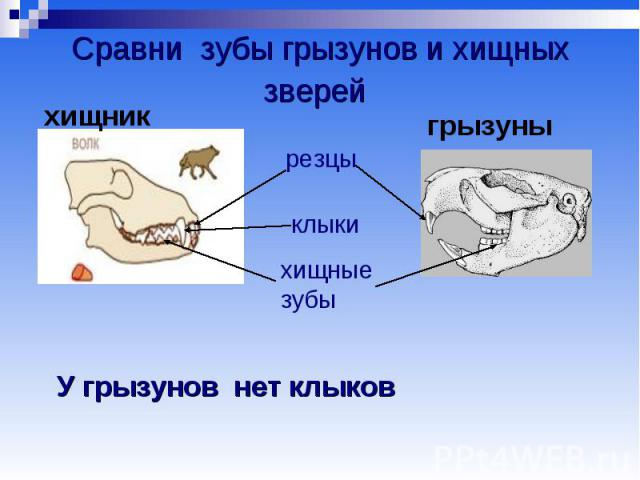 Сравни зубы грызунов и хищных зверей