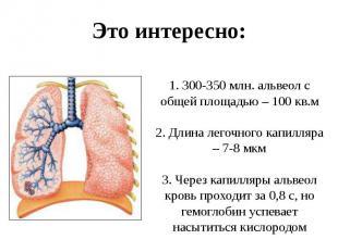 1. 300-350 млн. альвеол с общей площадью – 100 кв.м 2. Длина легочного капилляра