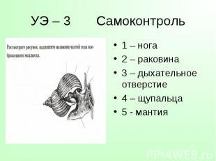 1 – нога 1 – нога 2 – раковина 3 – дыхательное отверстие 4 – щупальца 5 - мантия