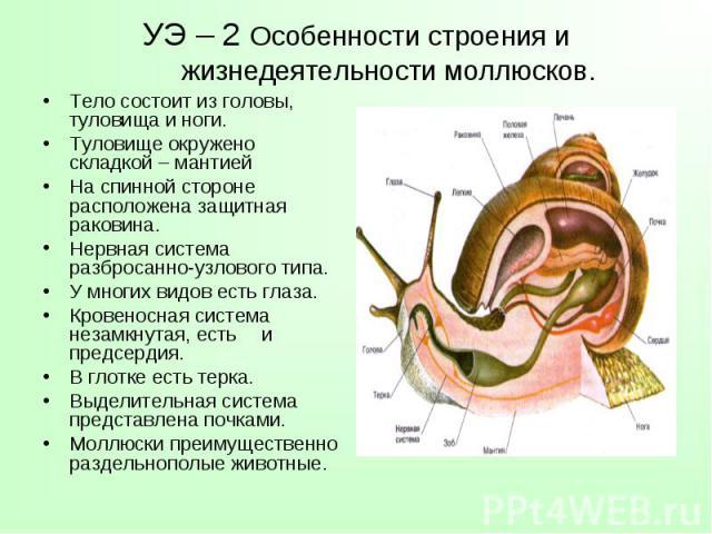 Тело состоит из головы, туловища и ноги. Тело состоит из головы, туловища и ноги. Туловище окружено складкой – мантией На спинной стороне расположена защитная раковина. Нервная система разбросанно-узлового типа. У многих видов есть глаза. Кровеносна…