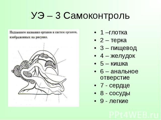 1 –глотка 1 –глотка 2 – терка 3 – пищевод 4 – желудок 5 – кишка 6 – анальное отверстие 7 - сердце 8 - сосуды 9 - легкие