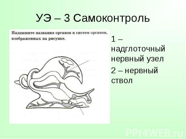 1 – надглоточный нервный узел 1 – надглоточный нервный узел 2 – нервный ствол