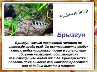 Брызгун- самый настоящий чемпион по стрельбе среди рыб. Он выплевывает в воздух