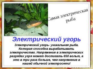 Электрический угорь- уникальная рыба. Которая способна вырабатывать электричеств