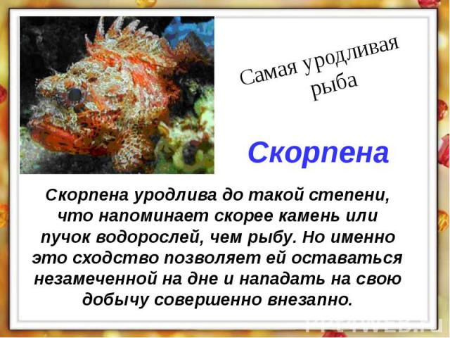 Скорпена уродлива до такой степени, что напоминает скорее камень или пучок водорослей, чем рыбу. Но именно это сходство позволяет ей оставаться незамеченной на дне и нападать на свою добычу совершенно внезапно.