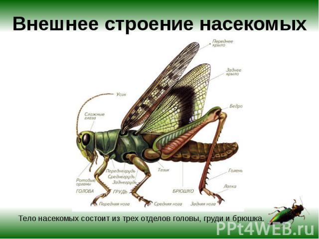 Внешнее строение насекомых Тело насекомых состоит из трех отделов головы, груди и брюшка.
