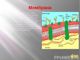 Мембрана Она представляет собой тонкую (около 7,5 нм2 толщиной) трехслойную обол