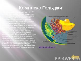 Комплекс Гольджи Комплекс Гольджи(рис. 2,&nb