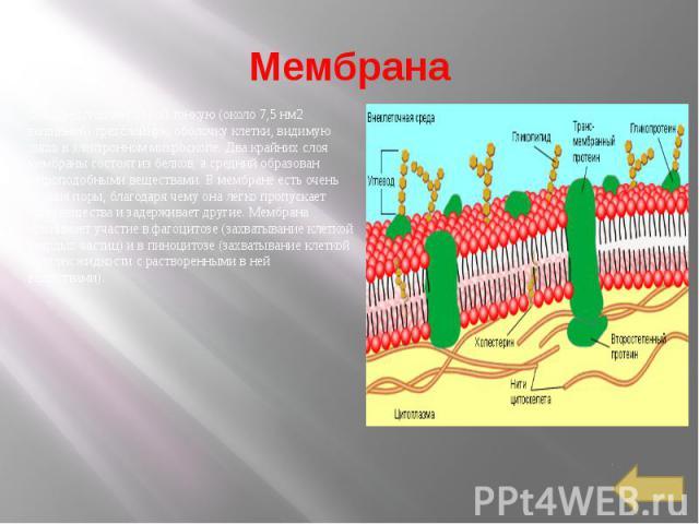 Мембрана Она представляет собой тонкую (около 7,5 нм2 толщиной) трехслойную оболочку клетки, видимую лишь в электронном микроскопе. Два крайних слоя мембраны состоят из белков, а средний образован жироподобными веществами. В мембране есть очень мелк…