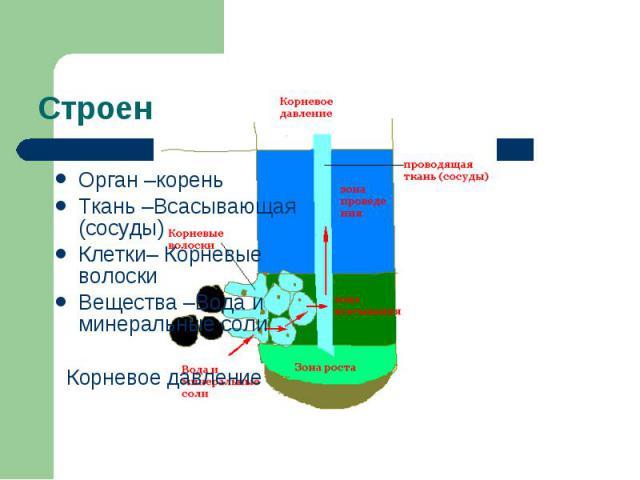 Орган –корень Орган –корень Ткань –Всасывающая (сосуды) Клетки– Корневые волоски Вещества –Вода и минеральные соли Корневое давление