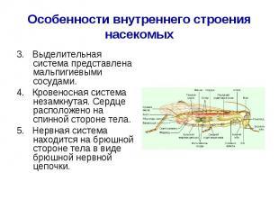 3. Выделительная система представлена мальпигиевыми сосудами. 3. Выделительная с