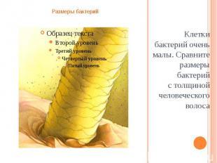 Клетки бактерий очень малы. Сравните размеры бактерий столщиной человеческ