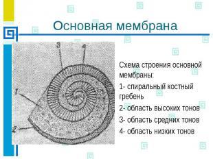 Основная мембрана