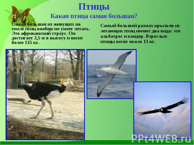 Самая большая из живущих на земле птиц вообще не умеет летать. Это африканский страус. Он достигает 2,5 м в высоту и весит более 135 кг. Самая большая из живущих на земле птиц вообще не умеет летать. Это африканский страус. Он достигает 2,5 м в высо…