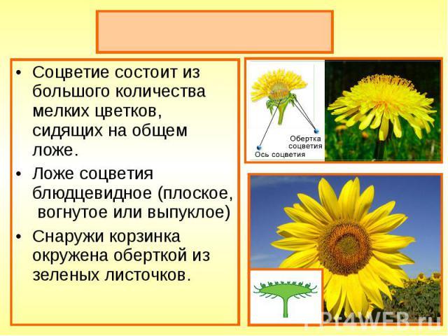 Соцветие состоит из большого количества мелких цветков, сидящих на общем ложе. Соцветие состоит из большого количества мелких цветков, сидящих на общем ложе. Ложе соцветия блюдцевидное (плоское, вогнутое или выпуклое) Снаружи корзинка окружена оберт…