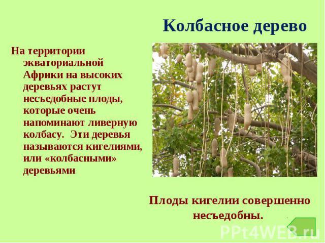 На территории экваториальной Африки на высоких деревьях растут несъедобные плоды, которые очень напоминают ливерную колбасу. Эти деревья называются кигелиями, или «колбасными» деревьями На территории экваториальной Африки на высоких деревьях растут …