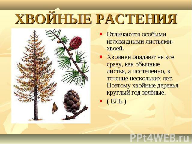 Отличаются особыми игловидными листьями- хвоей. Отличаются особыми игловидными листьями- хвоей. Хвоинки опадают не все сразу, как обычные листья, а постепенно, в течение нескольких лет. Поэтому хвойные деревья круглый год зелёные. ( ЕЛЬ )