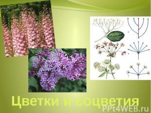 Цветки и соцветия