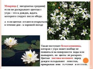 Мокрица ( звездчатка средняя) если не раскрывает цветки с утра - это к дождю, жд