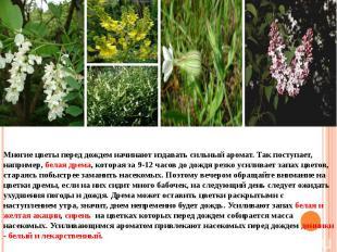 Многие цветы перед дождем начинают издавать сильный аромат. Так поступает, напри