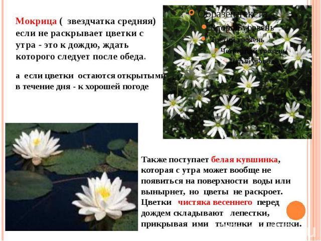 Мокрица ( звездчатка средняя) если не раскрывает цветки с утра - это к дождю, ждать которого следует после обеда.