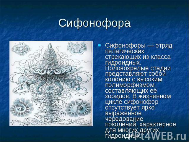 Сифонофоры — отряд пелагических стрекающих из класса гидроидных. Половозрелые стадии представляют собой колонию с высоким полиморфизмом составляющих её зооидов. В жизненном цикле сифонофор отсутствует ярко выраженное чередование поколений, характерн…