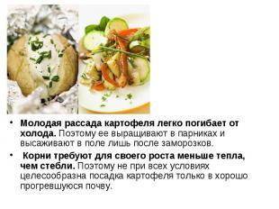 Молодая рассада картофеля легко погибает от холода. Поэтому ее выращивают в парн