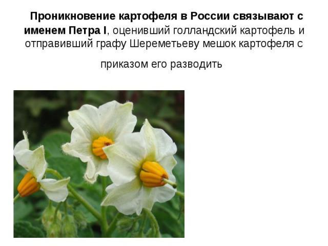 Проникновение картофеля в России связывают с именем Петра I, оценивший голландский картофель и отправивший графу Шереметьеву мешок картофеля с приказом его разводить