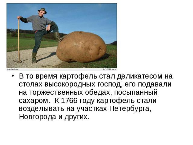 В то время картофель стал деликатесом на столах высокородных господ, его подавали на торжественных обедах, посыпанный сахаром. К 1766 году картофель стали возделывать на участках Петербурга, Новгорода и других.