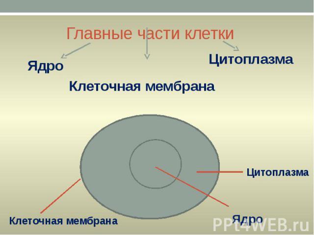 Главные части клетки Ядро