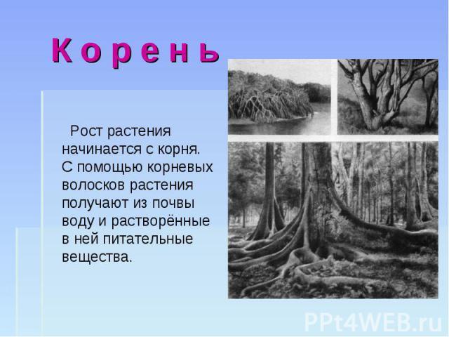 Рост растения начинается с корня. С помощью корневых волосков растения получают из почвы воду и растворённые в ней питательные вещества. Рост растения начинается с корня. С помощью корневых волосков растения получают из почвы воду и растворённые в н…