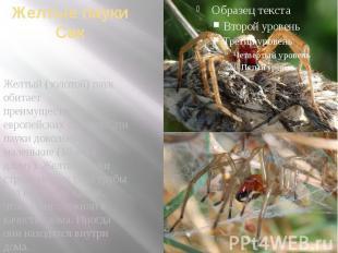 Желтые пауки Сак Желтый (золотой) паук обитает преимущественно в европейских стр
