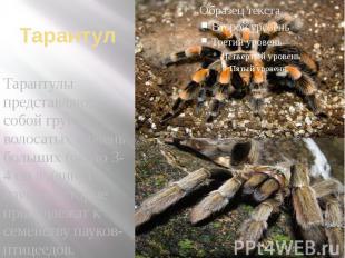 Тарантул Тарантулы представляют собой группу волосатых и очень больших (около 3-