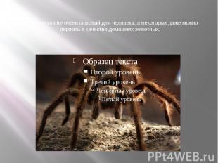 Яд тарантула не очень опасный для человека, а некоторых даже можно держать в кач
