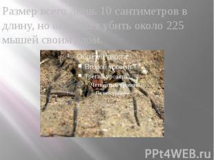 Размер всего лишь 10 сантиметров в длину, но он может убить около 225 мышей свои