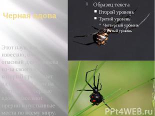 Черная вдова Этот паук, как известно, очень опасный для человека из-за своего яд
