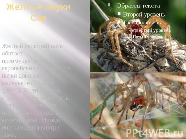 Желтые пауки Сак Желтый (золотой) паук обитает преимущественно в европейских странах.Эти пауки довольно маленькие (10 мм в длину). Желтые пауки строят мешки типа трубы под вещи, как камни, чтобы они служили в качестве дома. Иногда они находятс…