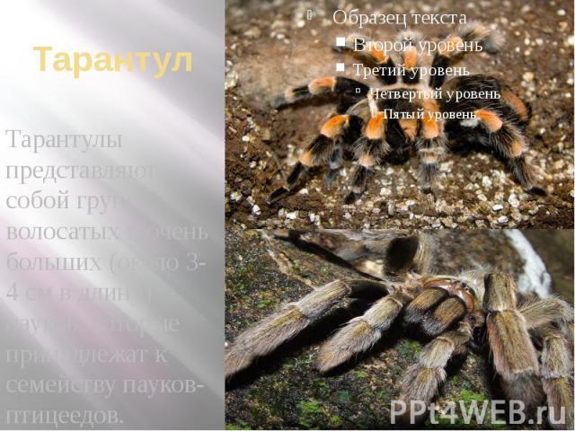 Тарантул Тарантулы представляют собой группу волосатых и очень больших (около 3-4 см в длину) пауков, которые принадлежат к семейству пауков-птицеедов.