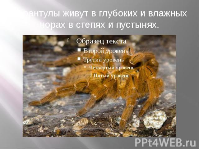 Тарантулы живут в глубоких и влажных норах в степях и пустынях.