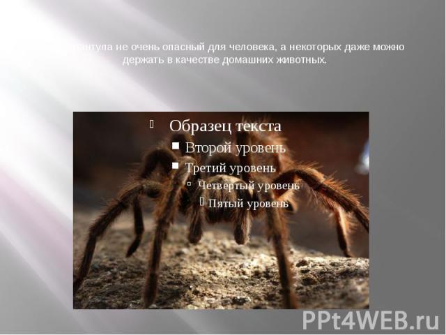 Яд тарантула не очень опасный для человека, а некоторых даже можно держать в качестве домашних животных.