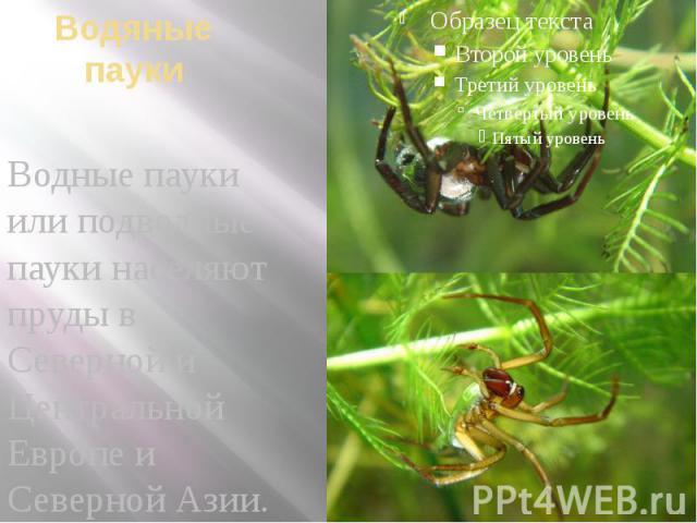 Водяные пауки Водные пауки или подводные пауки населяют пруды в Северной и Центральной Европе и Северной Азии.