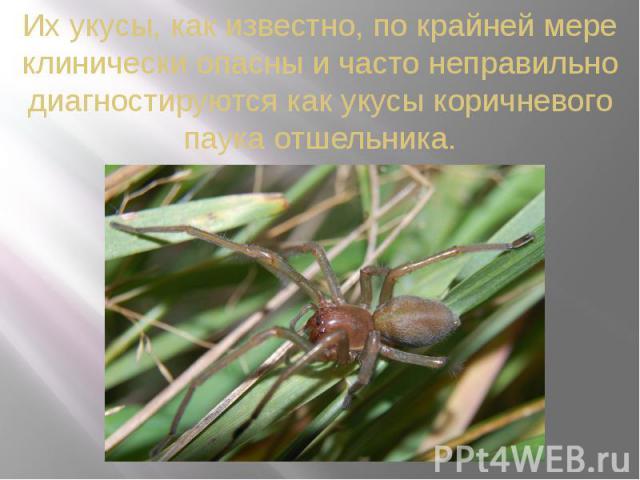 Их укусы, как известно, по крайней мере клинически опасны и часто неправильно диагностируются как укусы коричневого паука отшельника.