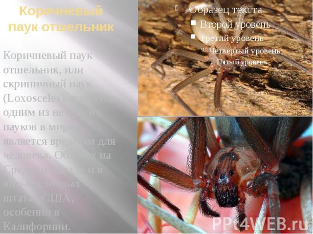 Коричневый паук отшельник Коричневый паук отшельник, или скрипичный паук (Loxosceles), является одним из немногих пауков в мире, является вредным для человека. Обитает на Среднем Западе и в юго-восточных штатах США, особенно в Калифорнии.