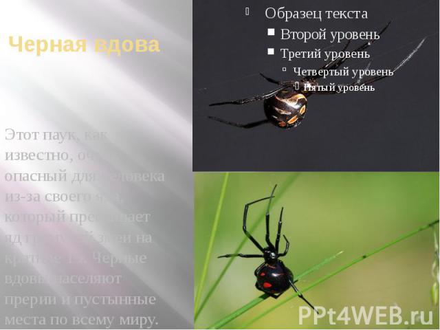 Черная вдова Этот паук, как известно, очень опасный для человека из-за своего яда, который превышает яд гремучей змеи на кратное 15. Черные вдовы населяют прерии и пустынные места по всему миру.