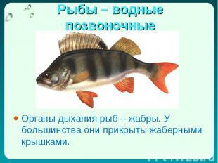 Органы дыхания рыб – жабры. У большинства они прикрыты жаберными крышками. Орган