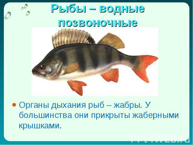 Органы дыхания рыб – жабры. У большинства они прикрыты жаберными крышками. Органы дыхания рыб – жабры. У большинства они прикрыты жаберными крышками.